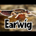 Earwigs For Kids