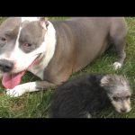 Pitbull vs 12 Week Old Morkie * Roc and Zumi Puppy Dog Playground DCTC