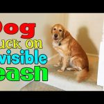 Dog Stuck on Invisible Leash