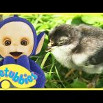 Teletubbies English Episodes – Chicks ★ Full Episode 228 | US