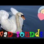 🎧 Swan sounds effect | Swan trumpeting, honking on the lake | Animal sounds for children to learn