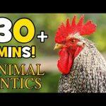 Animal Antics – Chickens | 30+ mins