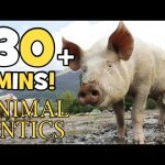 Animal Antics – On the Farm with Pigs | Spotty Piglets | 30+ mins of Animal Adventures