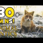 Animal Antics – Spring Mornings with the Foxes | Animals for Kids | 30+ min of Animals and Foxes